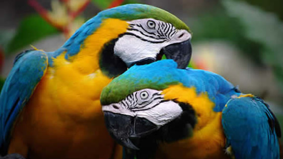 two parrots grooming each other