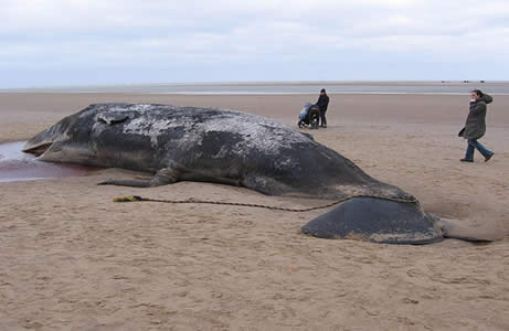 Beached sperm whale