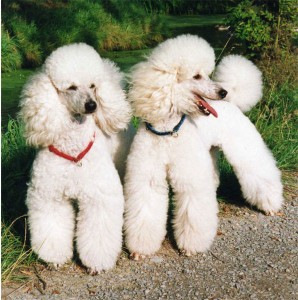"CCMTR researchers hope to develop a more in-depth understanding of ""Addison's Disease"" in Standard Poodles."