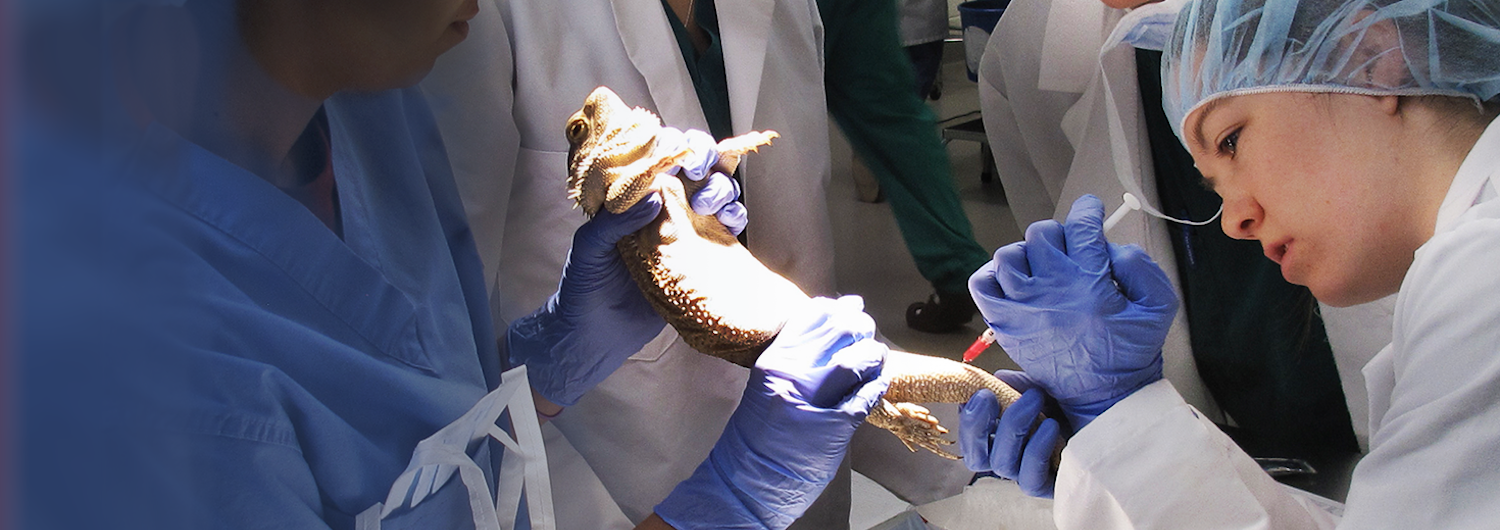 NC State DVM Students treating lizard