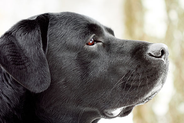 Labrador's head in profile. Close-up, shallow depth of field.