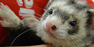 Randall B. Terry, Jr. Companion Animal Veterinary Medical Center Ferret