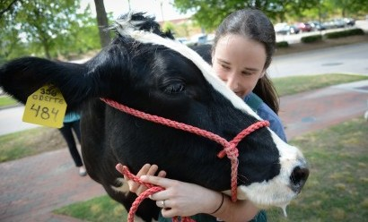 Some of the animals on hand to celebrate the Terry Center announcement was Odette, an NC State dairy cow.