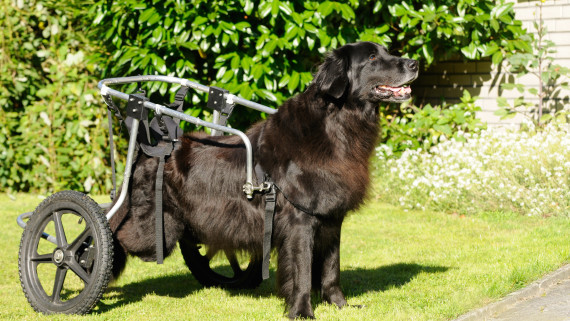 NC State CVM black dog with spinal cord injury