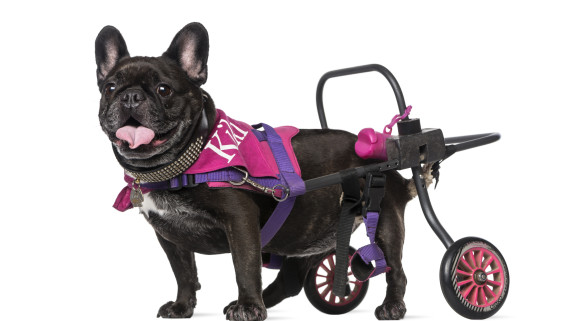 French bulldog in wheelchair