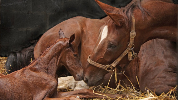 NC State CVM Foal and Mare