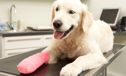 Labrador Retriever puppy with cast on leg