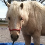 Abused horse at rescue shelter