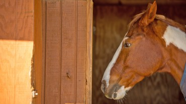 Chestnut horse standing by stall