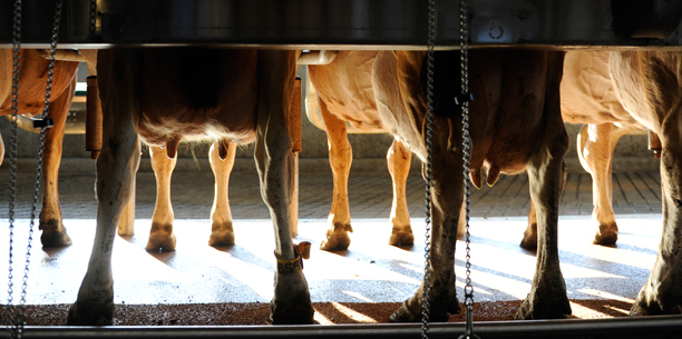 NC State dairy cows in stall