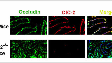 NC State CVM The Role of ClC-2 in Intestinal Development and Repair