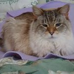 NC State CVM Feline Comparative Pain Clinical Trial Participant