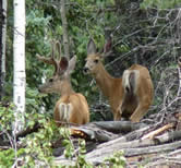 mule deer in woods