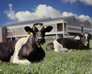 Cows at the NC State TAU
