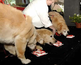 Let them eat cake: Terry's remaining golden retrievers enjoy a veterinarian-approved treat.