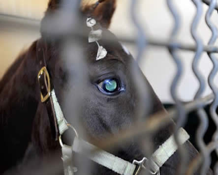 Tula, the horse with cataracts