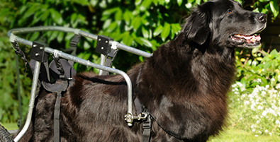 NC State CVM retriever in a wheelchair