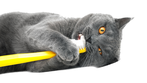 Gray cat with a toothbrush.