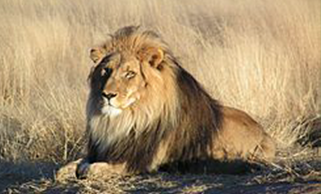 Lion resting on an African plain