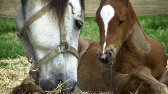 NC State CVM mare with foal in the corral