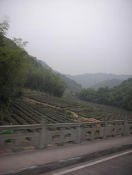 Visiting a Tea Farm in Hangzhou, China