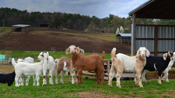 NC State CVM goats in the teaching animal unit