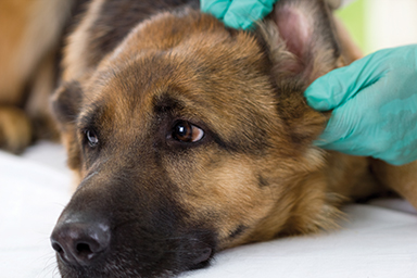Veterinarian looking at ear of a German shepherd dog,close up