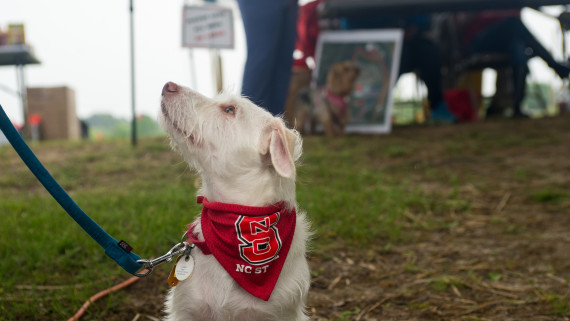 Small white dog in NC State bandana