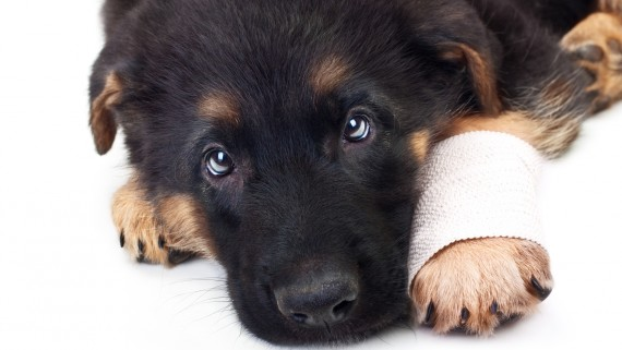 Puppy german shepherd dog with bandage on a white background.
