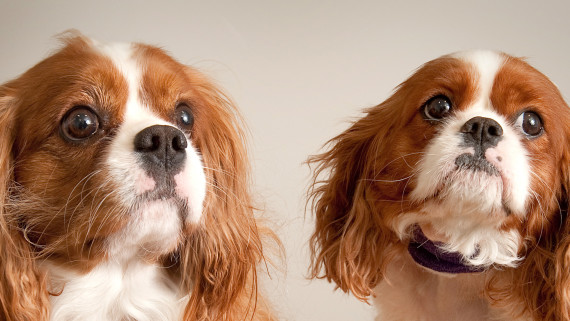 NC State CVM King Charles Spaniel bone marrow donor dogs
