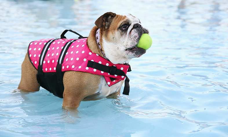 Bulldog in polk dotted life vest in pool with yellow ball in mouth