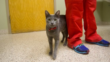 gray cat walking in exam room