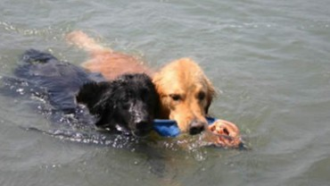 Flat coat and Golden swimming