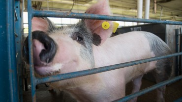 black and white pig in stall