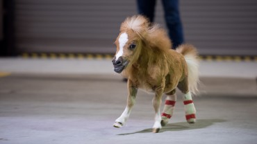 small pony runs in barn
