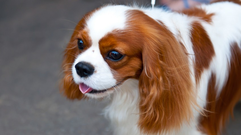 King Charles Spaniel is a breed of small dog of the Spaniel type.