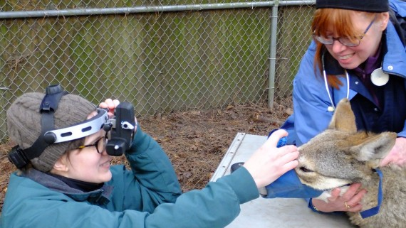 Dr. Mowat (left) examines the eyes of a red wolf restrained by Dr. Kennedy-Stoskopf (right)