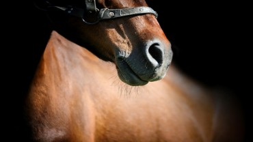 brown horse snout