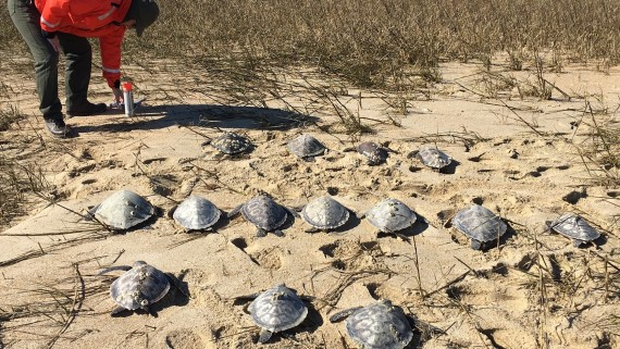 Recording green sea turtle cold stuns near Cape Lookout, January 20th