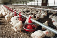 white chickens on poultry farm feeding