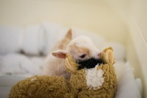 baby goat on stuffed animal