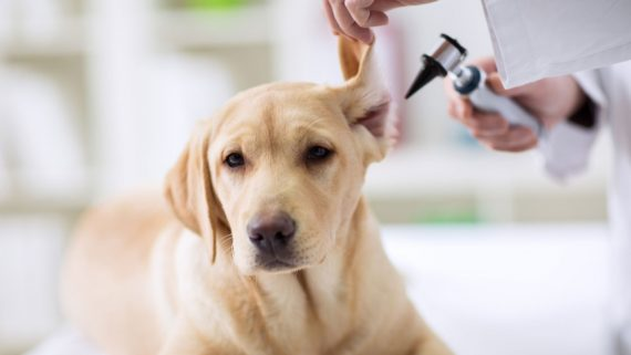 yellow lab dog getting ear examined