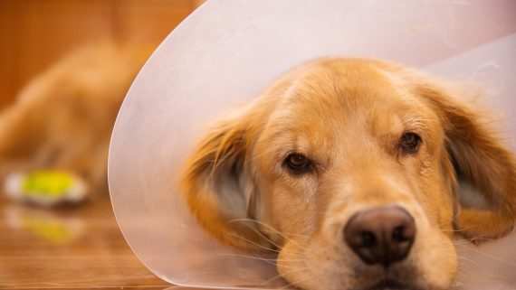 Golden Retriever dog recovering from foot surgery while wearing an Elizabethan collar in the shape of a cone for protection