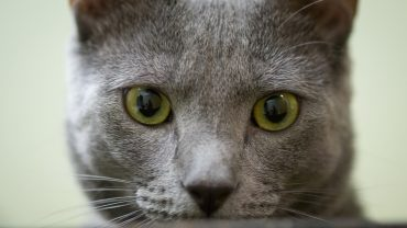 close up of cat looking directly at camera