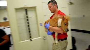 vet carries small injured horse