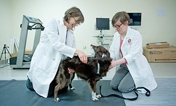 Veterinarians examine dog