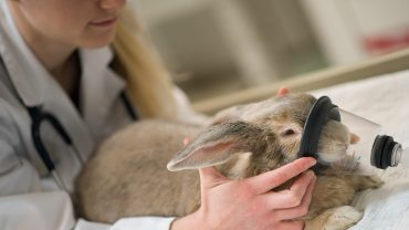 Pet rabbit prepares to receive radiation oncology treatment. Photo by Nathan Latil/NC State Veterinary Medicine