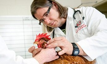 Vet treating a chicken