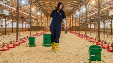 female walks in barn feeding chickens