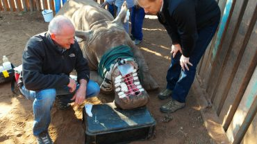 Mat Gerard and Anthony Blikslager meet Hope, a South African white rhino who was attacked and left for dead by poachers in May 2015. Photo by Wendy Simpson.